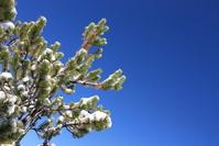 Snow tree 3
