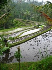 Rice Terace