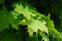 Spring maple 1