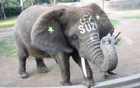 Suzi the Elephant
