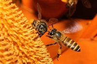 Wild Honey Bee(s) 8