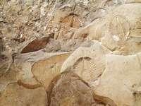 Trilobite Ontario Canada 1797
