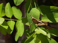 Mr Locust