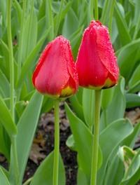 Ottawa Tulip Festival 3