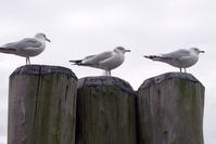 New York Doves