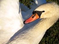Swan portrait 1
