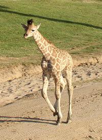 Baby Giraffe 3