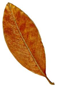 Leaf 41