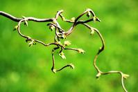 Ornamental willow - Salix mats