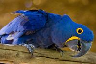 Blue Brazilian Macaw - Arara Azul - By F. Weberich