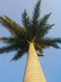 Imperial palmtree