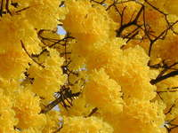 Arbol de mi tierra (Tree of my