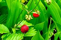 Zug Strawberries