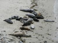 Seals sunning