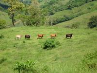 Cow Models