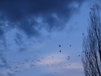 Crows like grains in the wheats 4