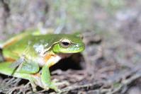 Green Tree Frog 3
