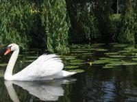 Swan lake in Holland