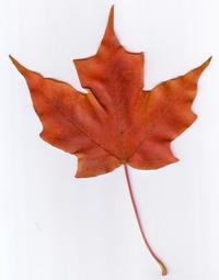 Scanner Art: Maple Leaves 2