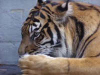 Bengal Tiger, Australia
