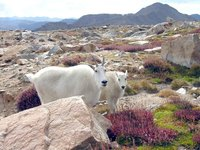 Mountain Goat & Kid