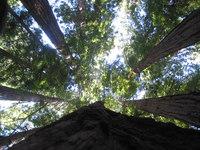 Redwood trees in Yosemite Nati