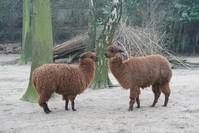 alpacas in the zoo