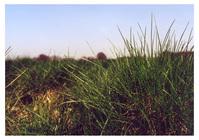 das grass
