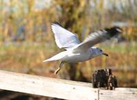 Seagull taking flight