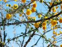 flowering thorn tree 3