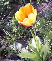 tulip_ 2