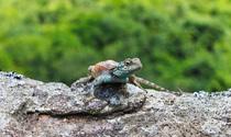 Blue Headed Lizard