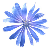 Garden Cornflower