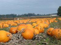 Pumpkin Feild