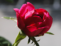 Borning Rose