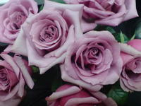 Yam Roses 3