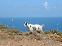 Goats in Crete 3