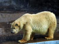 Oso Polar 1