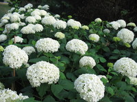 White Hydrangea 3