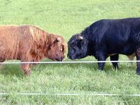 West Highland Bulls