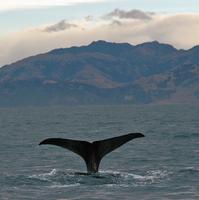 Sperm whale dives 6