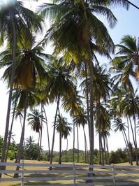 Coconut Trees 2