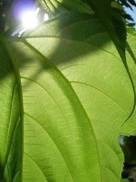 Leaf Up Close 3