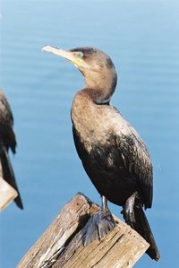 bigua ave do pantanal 1