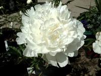 looks like carnation