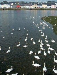 Swans in Galway (Ireland)