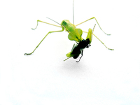 mantis_ 3