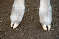 Lamb's feet
