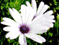 daisy with purple inside
