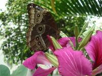 Viper Eye Butterfly